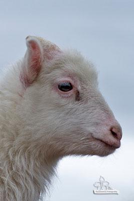 kleines Schaf im Profil  -Mai15-