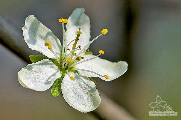 Blüte am Pflaumenbaum  -April15-