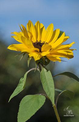 Sonnenblume  -August15-