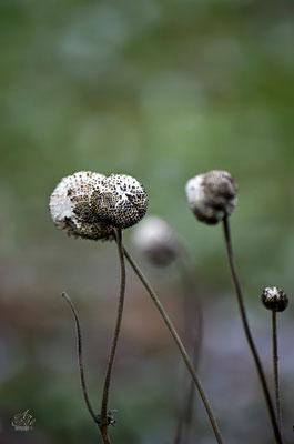Samenstände der Herbstanemonen  -Februar15-