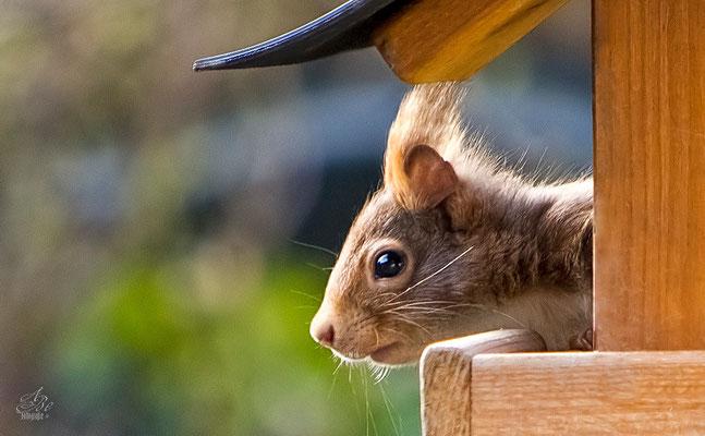 Eichhörnchen im Vogelhäuschen  -April15-