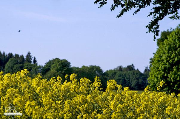 Rapsfeld  -Mai15-