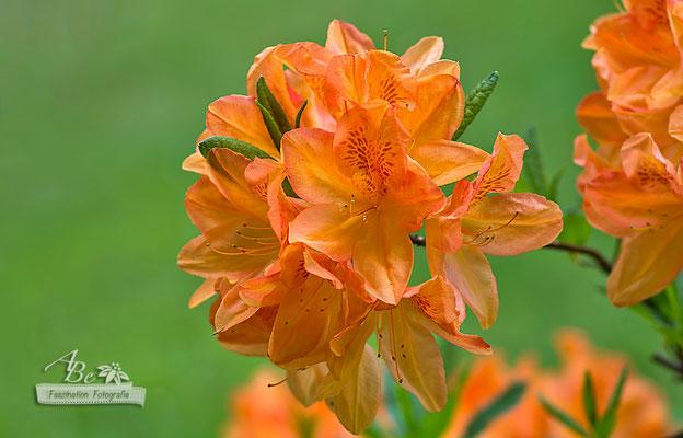Rhododendron _Juni15-