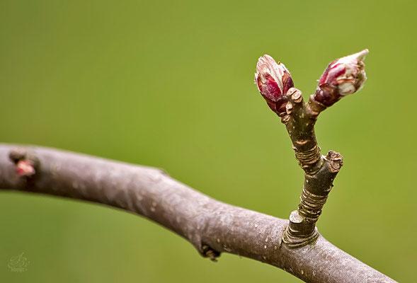 Die ersten Knospen  -April15-