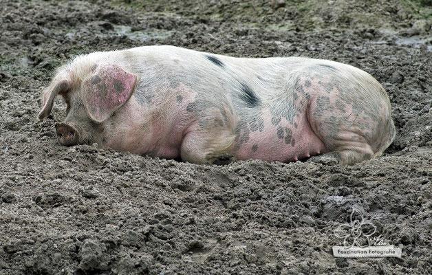 Hausschwein in der Schlammsuhle  -Mai15-