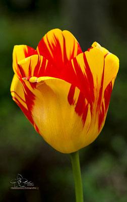 Tulpe  -Mai15-