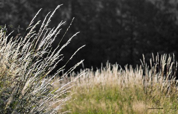 Gräser im Sommerwind  -Juli15-