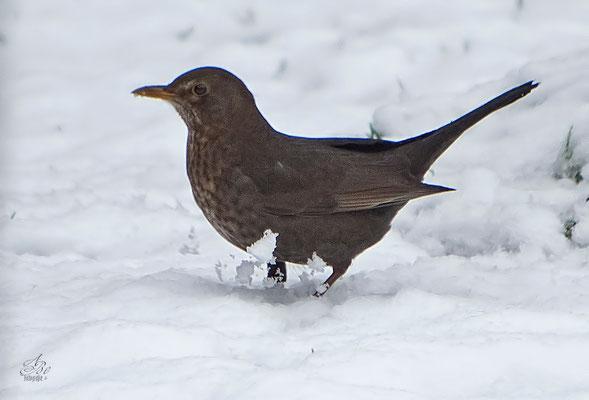 Amsel im Schnee  -Februar15-