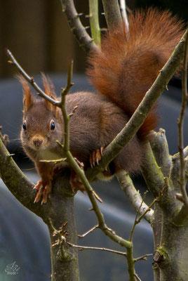 Eichhörnchen  -März15-