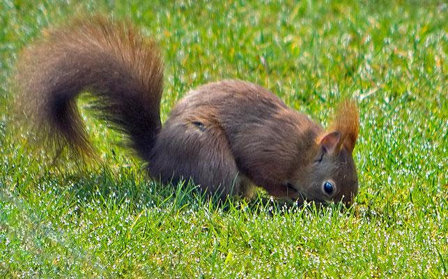 Eichhörnchen auf Suche..... -März15-
