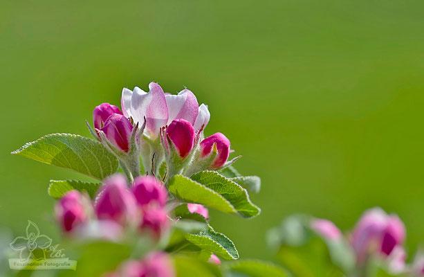 Apfelblüten  -April15-