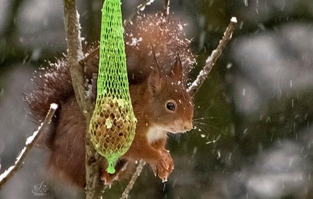 Eichhörnchen aufNahrungssuche  -Februar15-