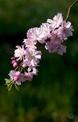 Japanische Zierkirsche  -April15-