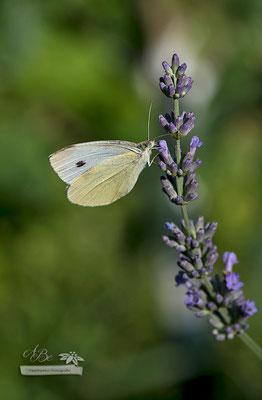 Kohlweißling an Lavendel  -Juli15-