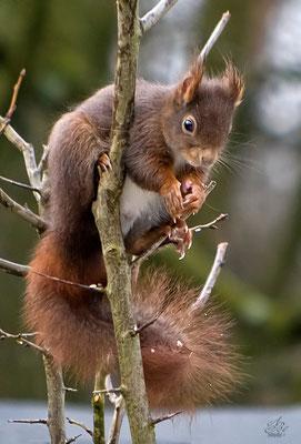 Eichhörnchen auf Nahrungssuche  -Februar15-