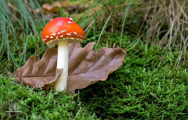Herbstzeit = Pilzzeit  -Oktober15-