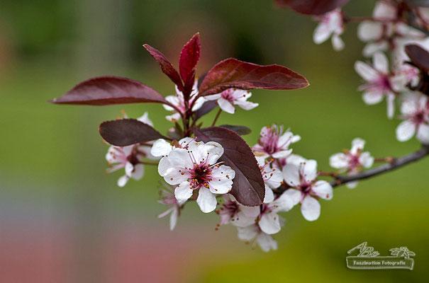 Kirschblüte  -Mai15-