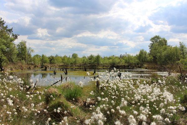 fruchtendes Wollgras im Hahnenmoor