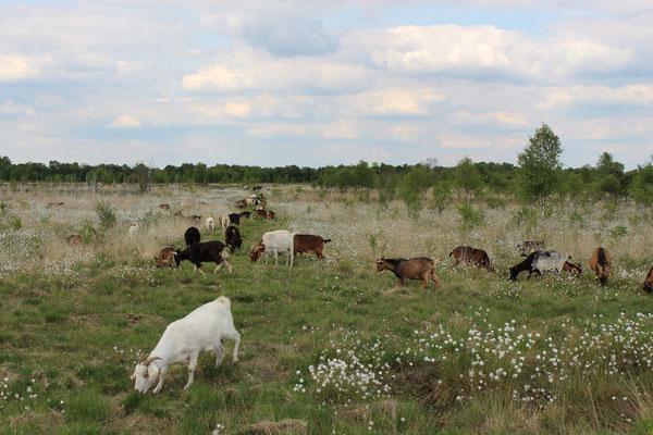 Um Teilbereiche offen zu halten, werden bestimmte Abschnitte des Moores mit Ziegen beweidet