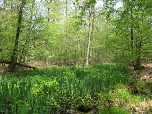 Auwald im Papenbusch