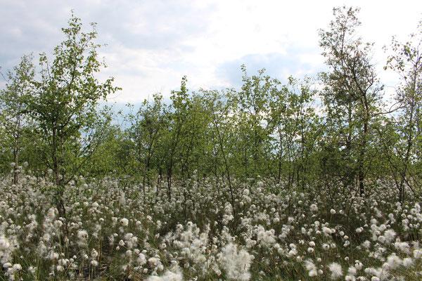 An vielen Stellen im Hahnenmoor wachsen Birken auf