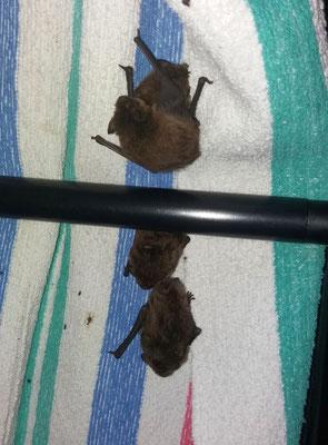 Die 4 Mückenfledermäuse erholen sich und werden so schnell wie möglich wieder freigelasen.