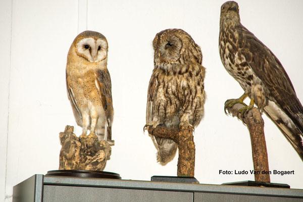 Der Waldkauz (mitte) war im Naturkundemuseum auch persönlich Teilnehmer der Veranstaltung.