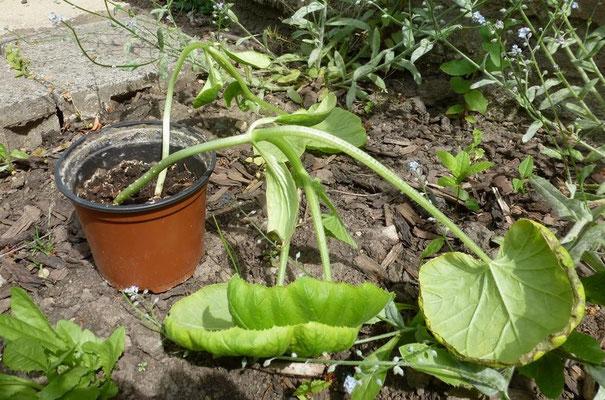 um diesen beiden Kürbispflanzen jeweils...