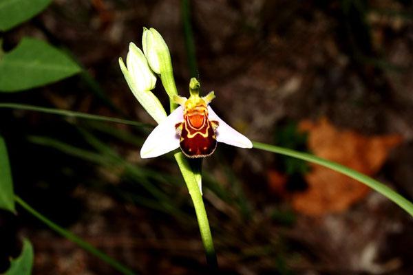 Die Bienenragwurz ist eine der Orchideenarten in der Neuen Hardt.</p>Foto: Dr. Rainer Hoyer