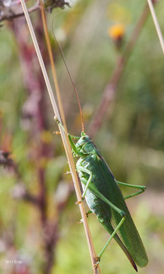 Weibchen des Grünen Heupferds (Tettigonia viridissima), eine Langfühlerschrecke.</p>Foto: Detlef Bischoff