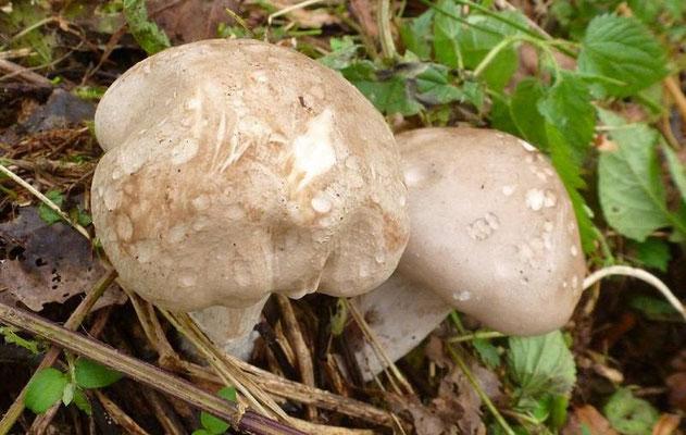 Verschiedene Pilze wachsen auch an den Lachen.