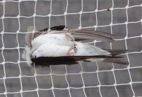 Diese Mehlschwalbe ist einer Vergämungsmaßnahme zum Opfer gefallen, sie hat sich im Netz verfangen und ist gestorben.