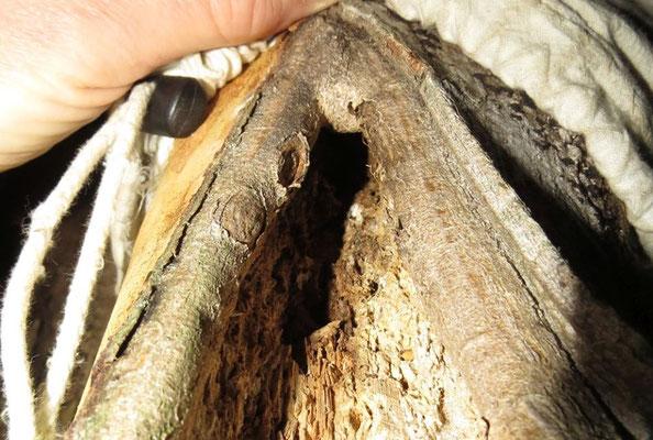 Aus einem hohlen Ast konnte der NABU mehrere Fledermäuse bergen.