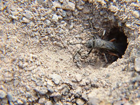 Offene Bodenstellen sind für höhlengrabende Insekten durch Versiegelung bedroht.