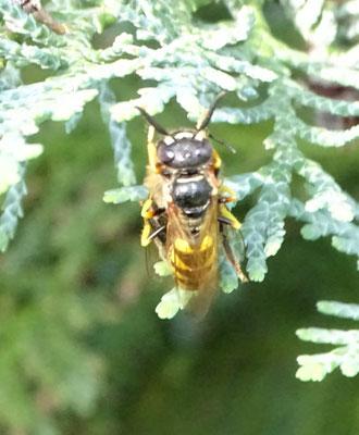 Bienenwolf mit Beute