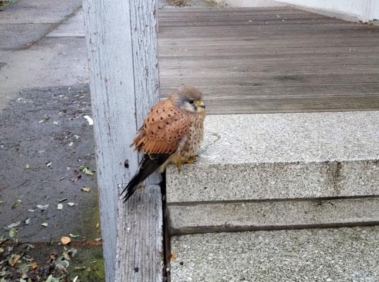 Dieser Turmfalke kam mangelernährt in die Wildvogelhilfe.