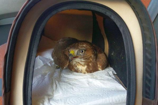 Dieser Mäusebussard wurde zur Behandlung in die Vogelklinik der Universität gebracht.