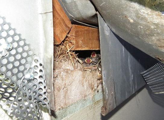 Hier kommt das Nest mit 3 jungen Haussperlingen zum Vorschein. Die Jungvögel waren bereits unterkühlt und durch Futtermangel verstört.