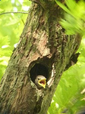In der Baumkrone schaut ein junger Star aus einer ehemaligen Buntspechthöhle.