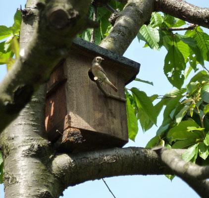 In einem Kirschbaum sucht ein weiblicher Gartenrotschwanz den Nistkasten auf.
