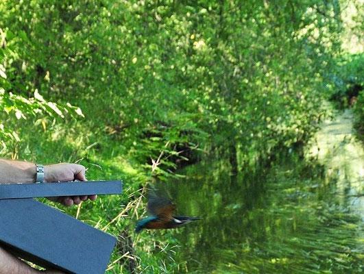 Der Eisvogel fliegt gleich auf einen gegenüberliegenden Ast.</p>Foto: Daniela Dunger
