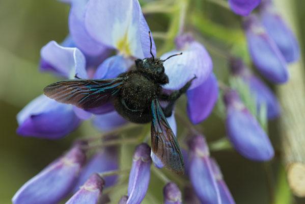 Blaue Holzbiene. Foto: NABU/Leo/fokus-natur.de