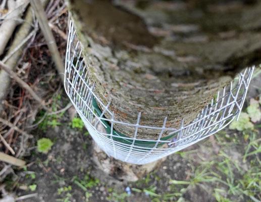 Oben und unten wird die Manschette eingeschnitten und gebogen, um 2 cm Abstand zwischen Leimring und Gitter zu erreichen.
