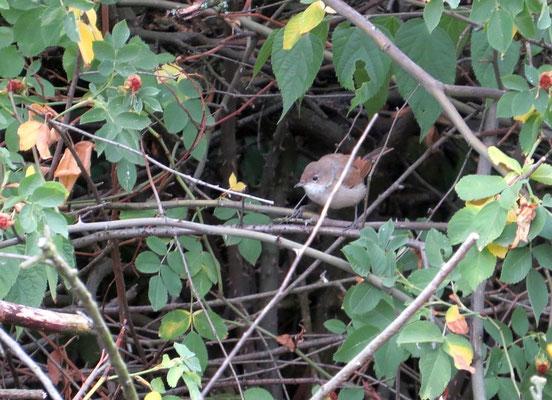 Das ist die Dorngrasmücke auf dem Leuschnerplatz, in Leipzig findet sie kaum noch geeignete Lebensräume.