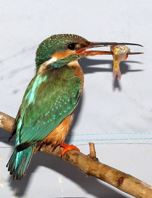 Die kleine - es ist ein Weibchen - verschlingt drei Fische je Mahlzeit - ein gesunder Appetit.