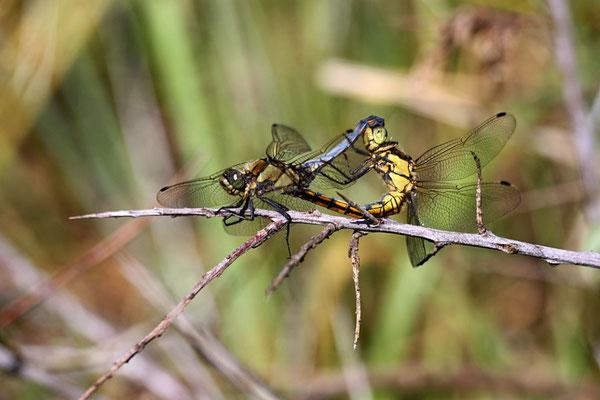 Diese Libellen sorgen für Nachwuchs: Paarungsrad des Kleinen Blaupfeils.</p>Foto: Dr. Rainer Hoyer