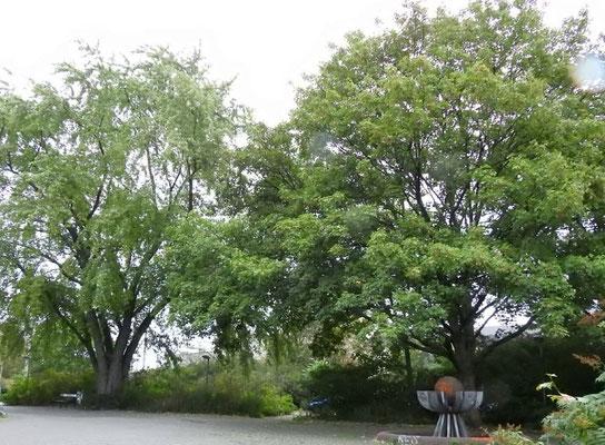Auch alte Bäume im Alter zwischen 50 - 100 Jahren machen den Leuschnerplatz für die Stadtnatur und das Stadtklima zu einem wichtigen Platz.