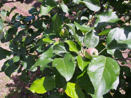 6月初旬、今井農園のリンゴ