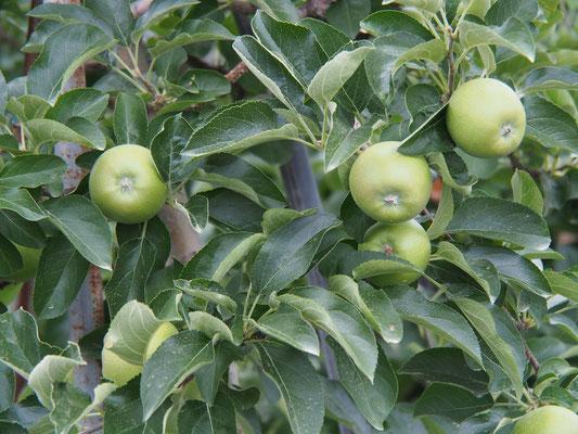 7月中旬、今井農園のリンゴ
