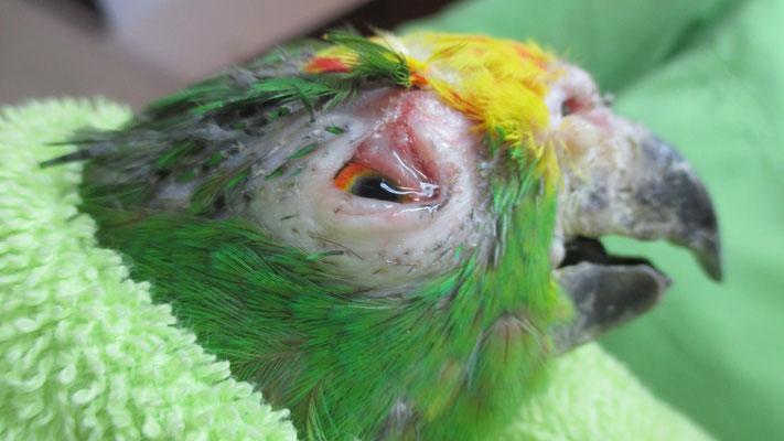 Amazone mit Bissverletzung am Auge: nach der Behandlung